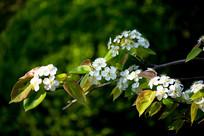 春天的梨花