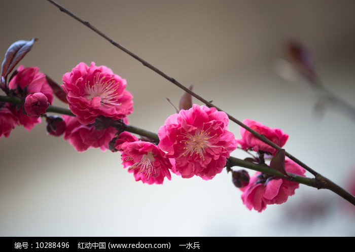 粉红色的紫叶桃花图片