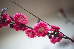 粉红色的紫叶桃花