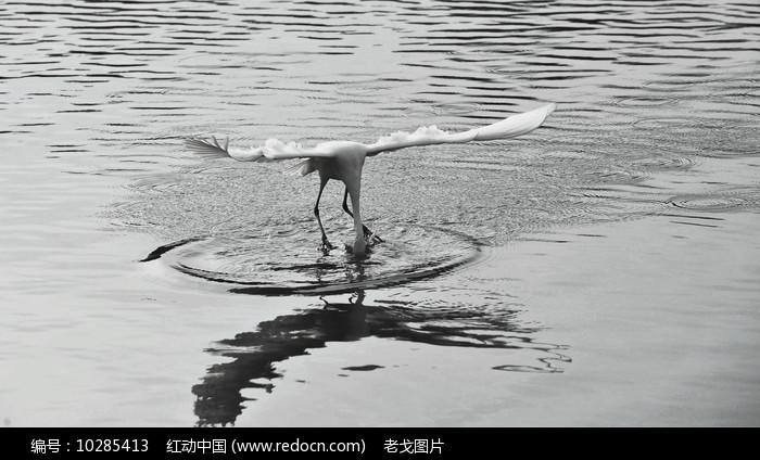 水面上停格的白鹭图片