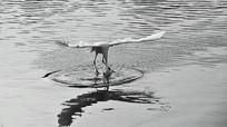 水面上停格的白鹭