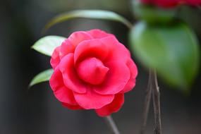 一朵未完全盛开的山茶花