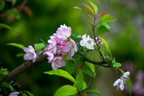 枝头上的垂丝海棠