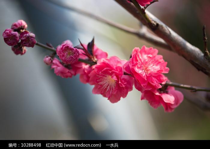 枝头上的紫叶桃花图片