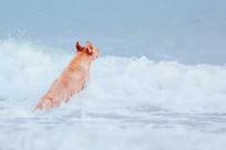 海里玩浪花的金毛狗