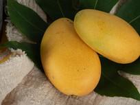 芒果棚拍图片