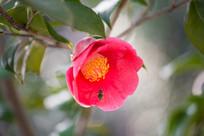 蜜蜂与山茶花