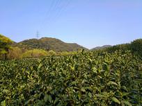 茶山风景图