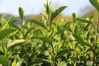茶树新芽素材