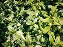 高处茶园绿叶