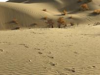 胡杨与沙漠