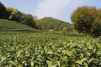 蓝天绿树茶园