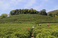 龙井采茶基地