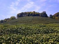 美丽茶园绿茶山