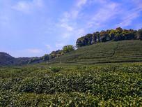 美丽山茶园