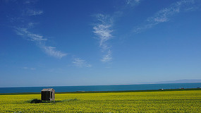 青海湖边的油菜花田