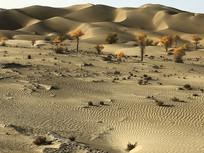 沙漠金胡杨