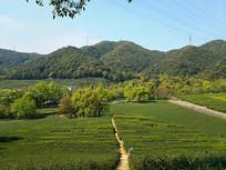 生态绿茶园