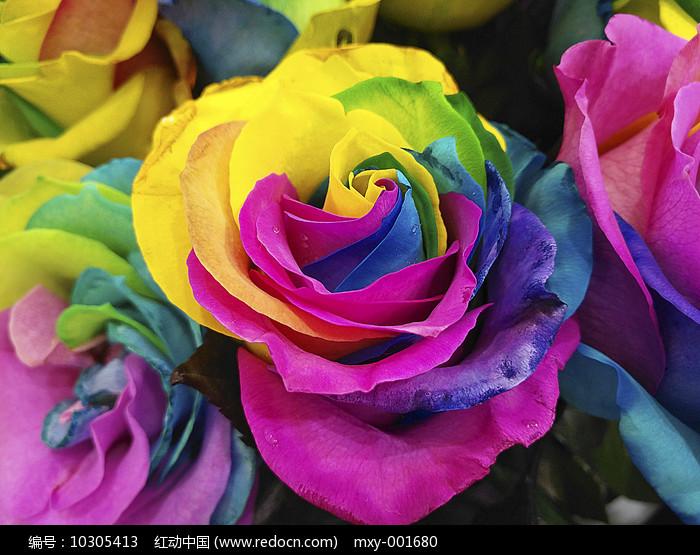 斑斓玫瑰花图片