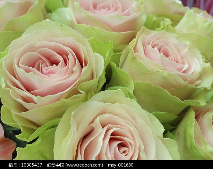 粉绿玫瑰图片