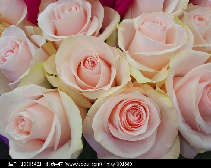 粉嫩玫瑰图片