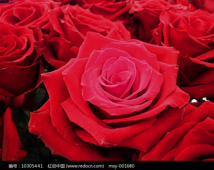 红玫瑰花束图片