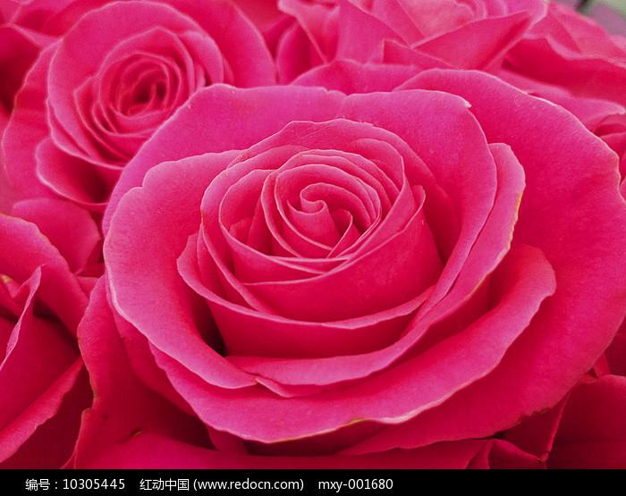 娇艳玫瑰图片