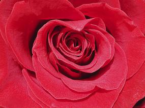 静物红玫瑰花