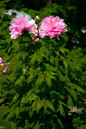 两朵粉红牡丹花