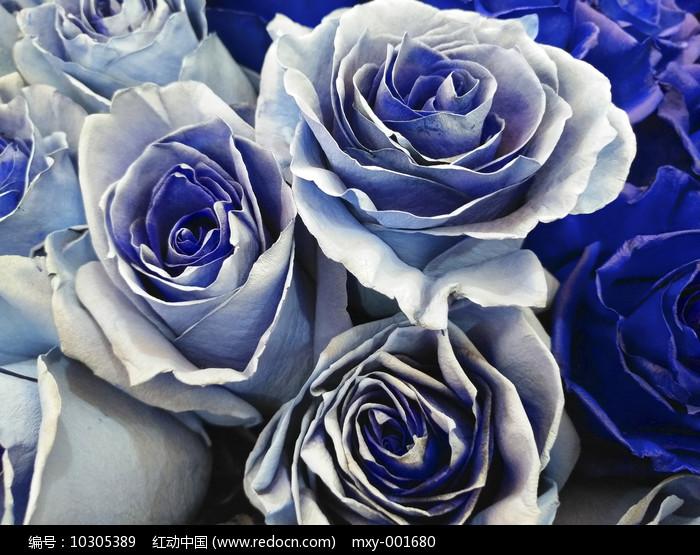玫瑰紫花图片