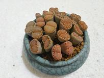 盆栽生石花