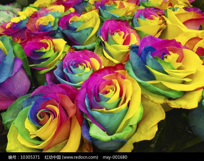 色彩斑斓玫瑰图片