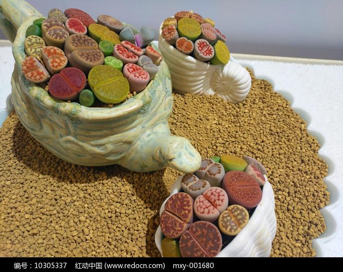 生石花栽培图片