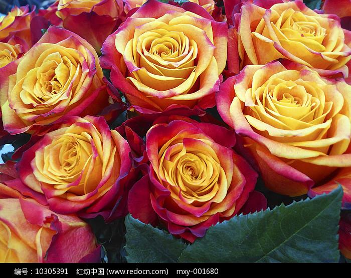 特写金玫瑰图片