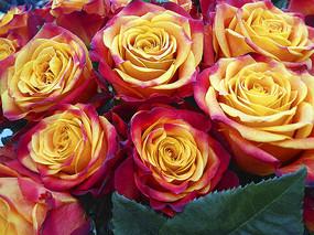 特写金玫瑰