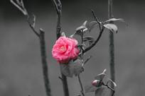 一朵绽放的蔷薇花
