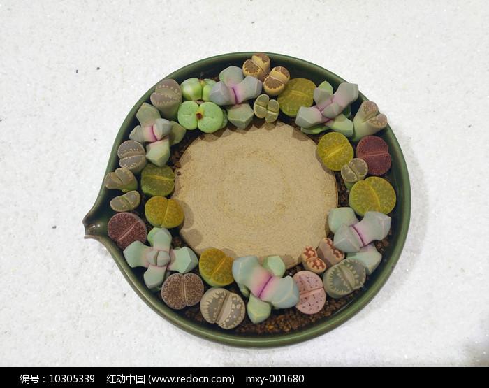一盆生石花图片