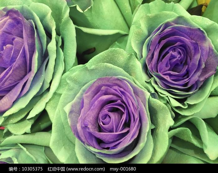 紫绿玫瑰图片