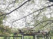 公园的凉亭樱花树