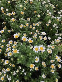 鲜艳的小雏菊