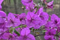 紫色的三角梅
