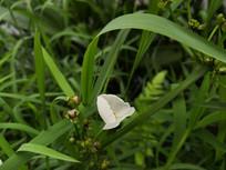 白色茨菇花朵