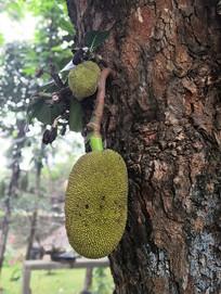 长在树干上的菠萝蜜幼果