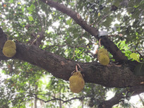 大树上长满菠萝蜜