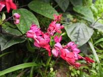 红萼龙吐珠花朵