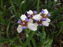 鲜艳的巴西鸢尾花