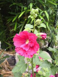 鲜艳红色的蜀葵花朵