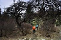 雅拉雪山的原始森林