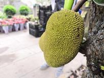 一个菠萝蜜