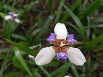 紫色巴西鸢尾花